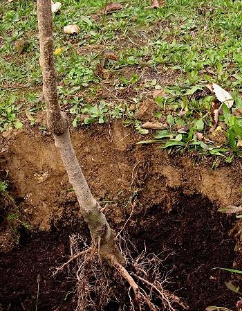 Почва плодовые деревья